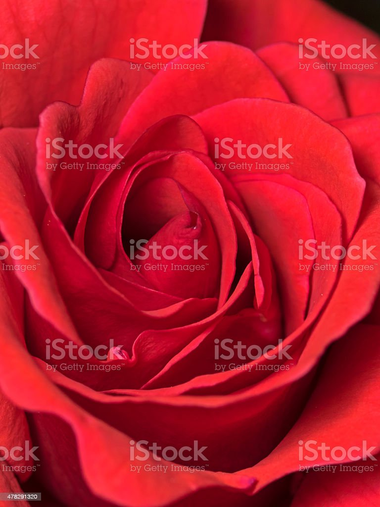 Red rose blossom, Rote Rosenbl?te stock photo