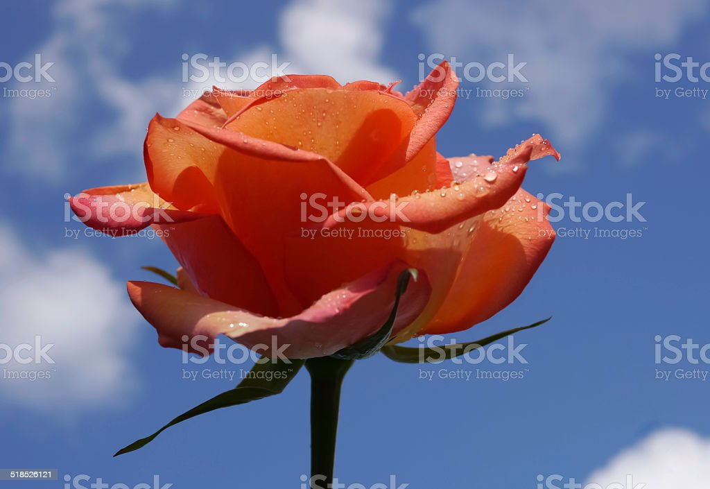 Red rose. Blue sky. White clouds royalty-free stock photo