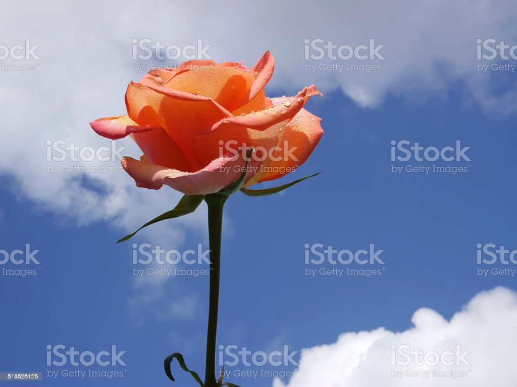 Red rose. Blue sky. White clouds stock photo