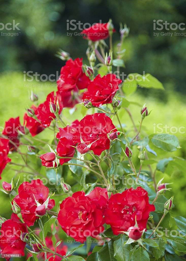 Red rose bush stock photo