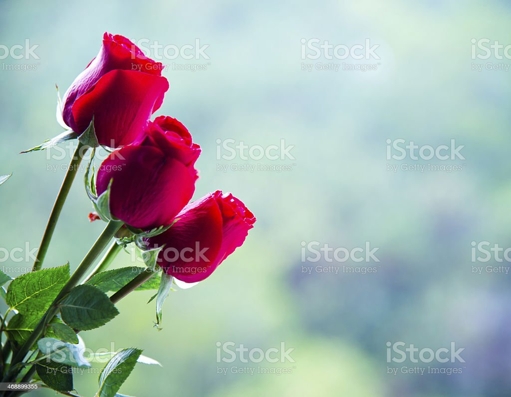 red rose bush royalty-free stock photo