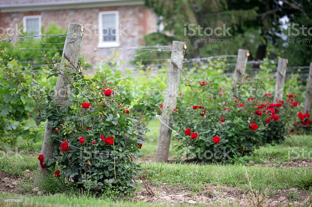 Red Rose Bush with Grape Vines stock photo