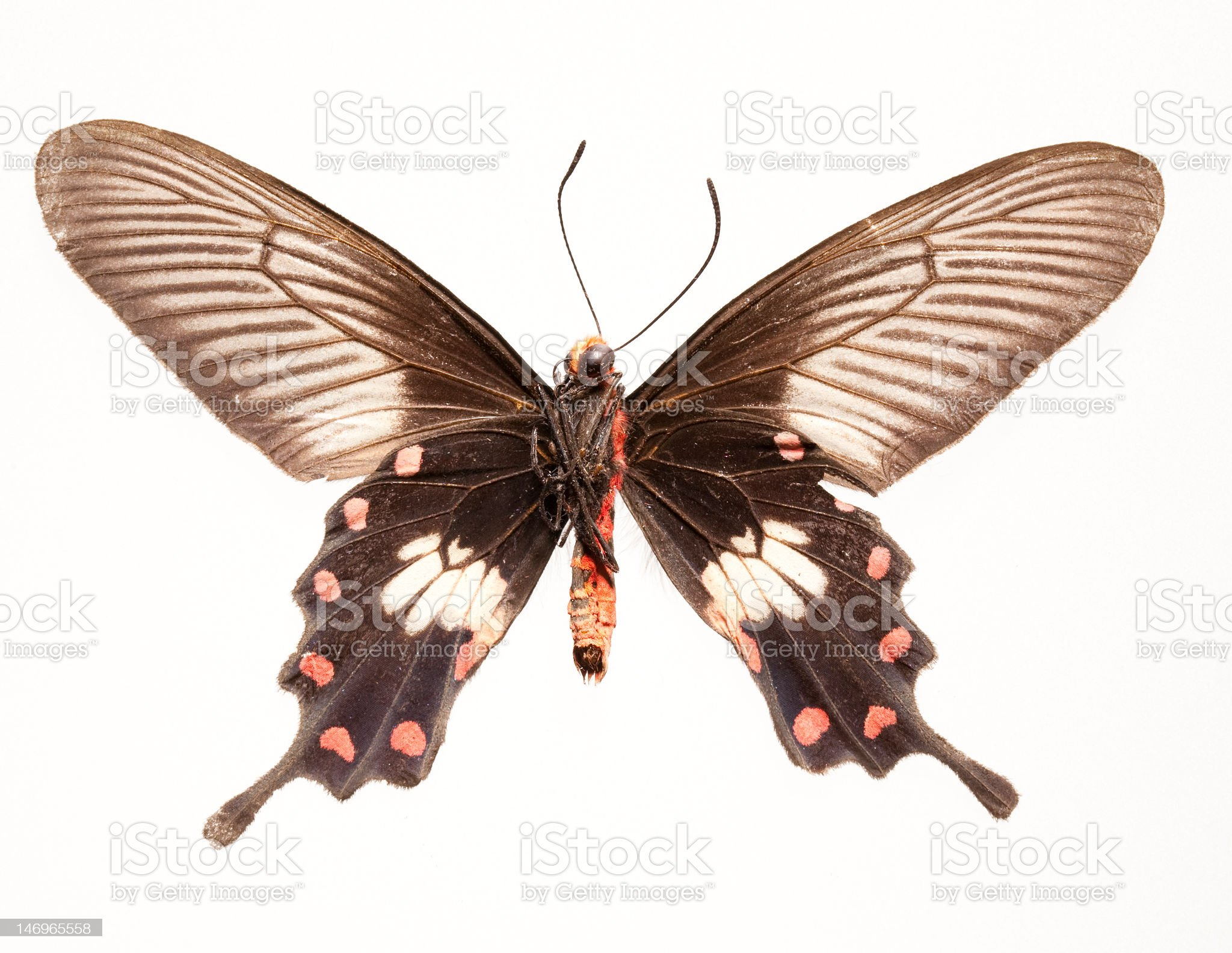 Red Rose Butterfly royalty-free stock photo
