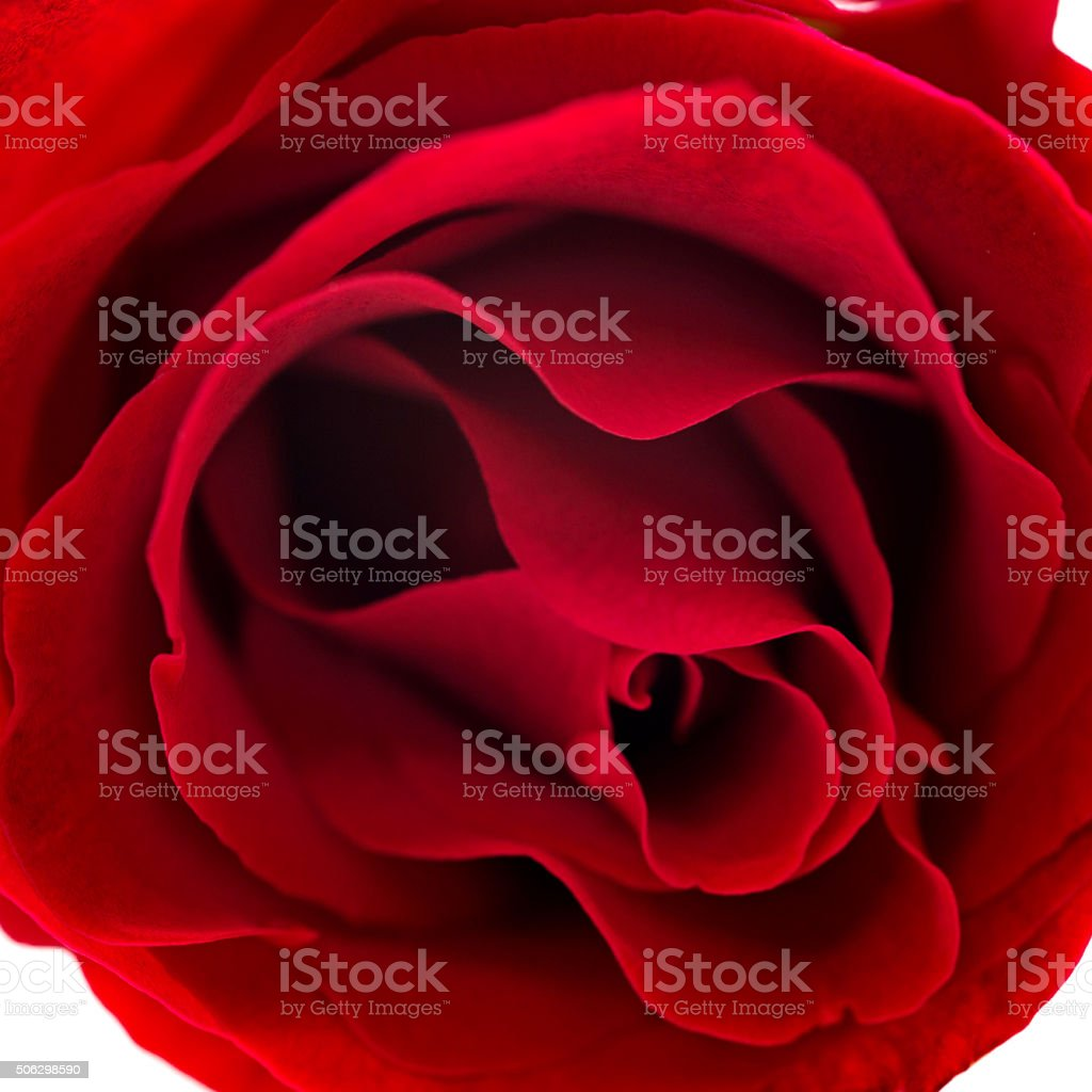 Red rose close up stock photo