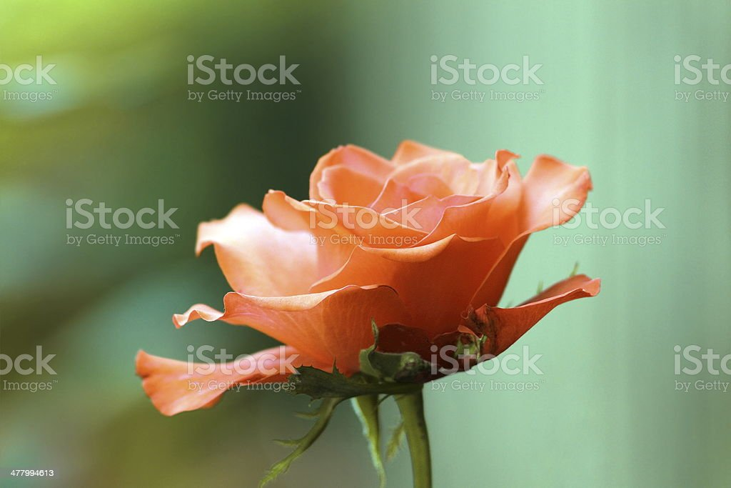 red rose detail over green background royalty-free stock photo