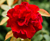 Red Rose face on
