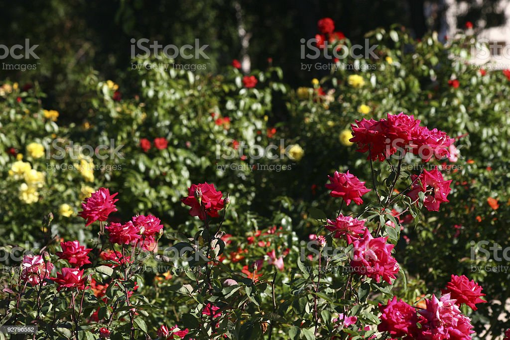 Red Rose Field royalty-free stock photo