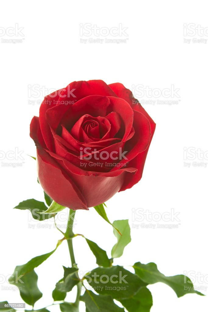 red rose flower isolated on white background stock photo