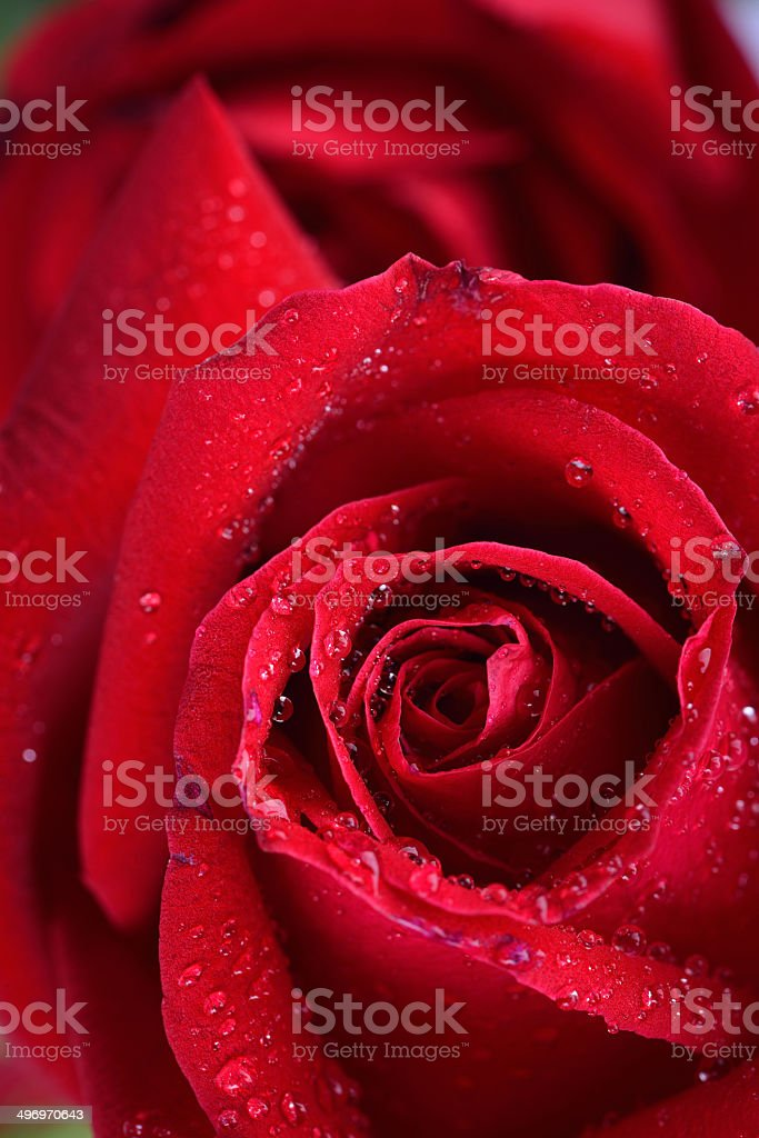red rose flower royalty-free stock photo