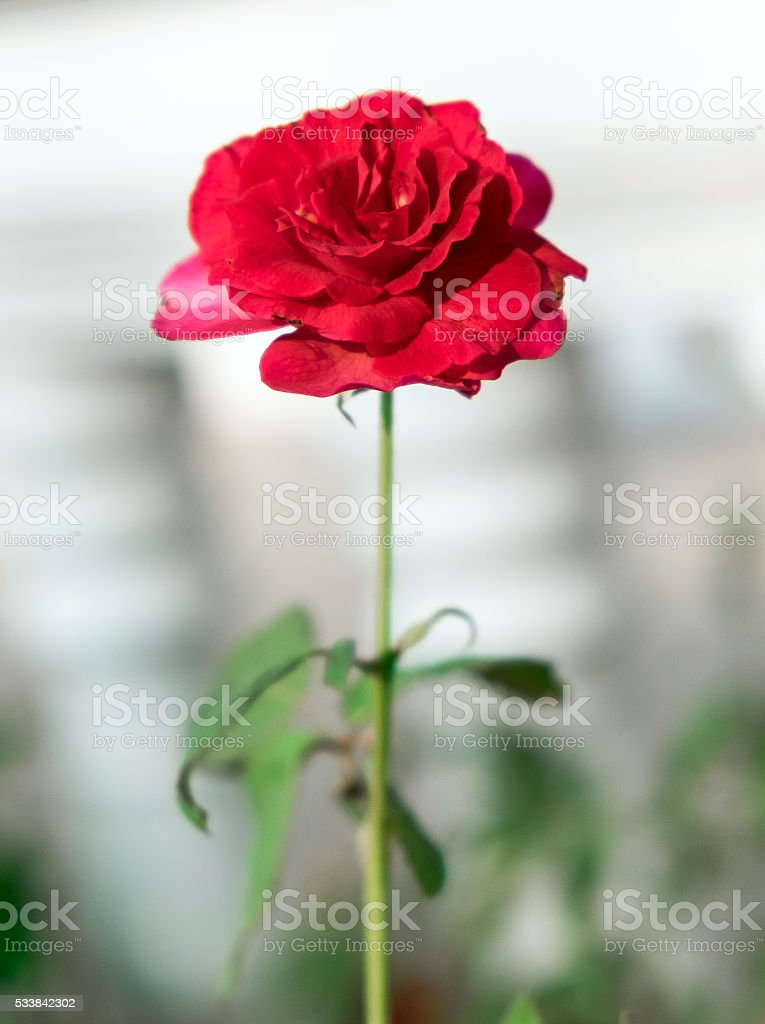 Red rose flower single in garden dark tone stock photo