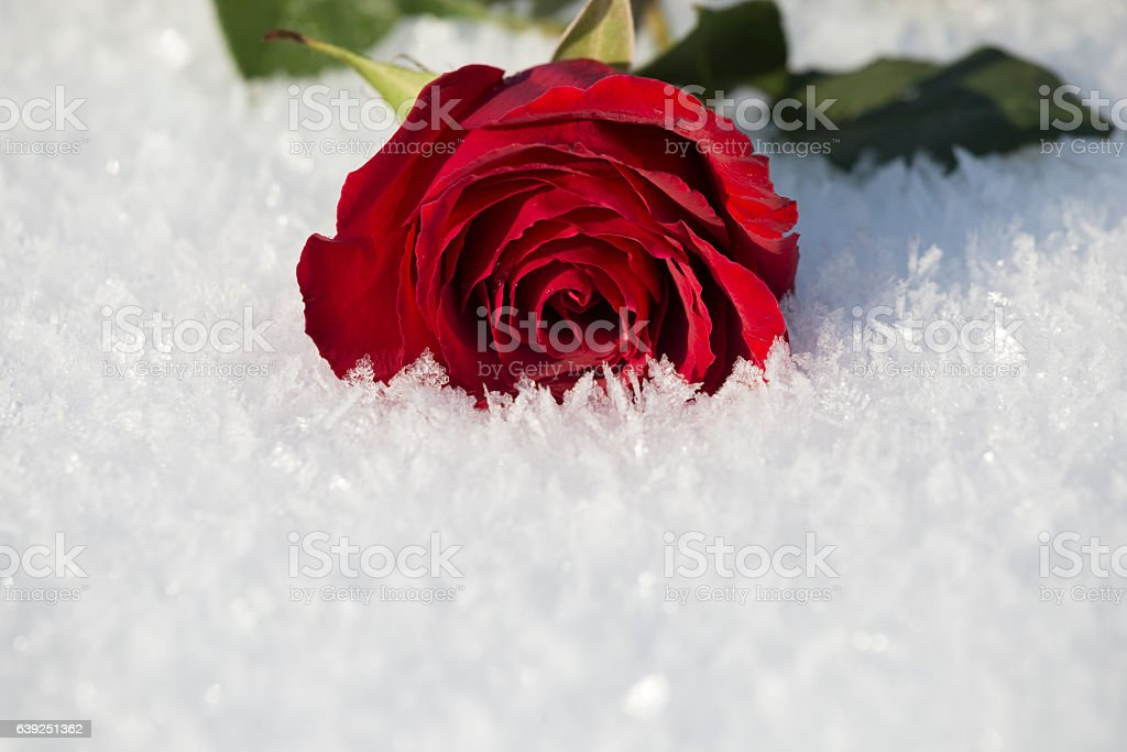 Red rose flower thrown on the snow stock photo