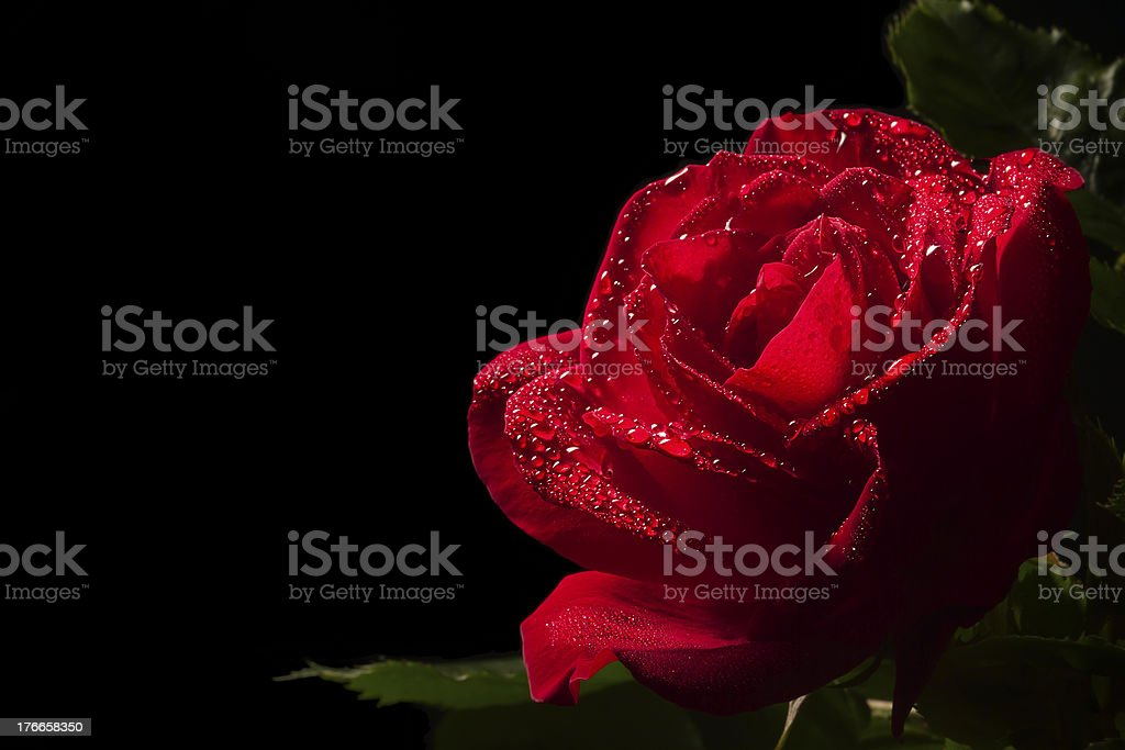 red rose flower with dew in black background royalty-free stock photo