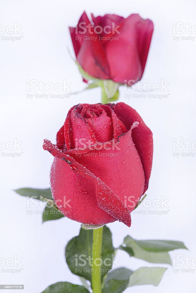 red rose flowers royalty-free stock photo