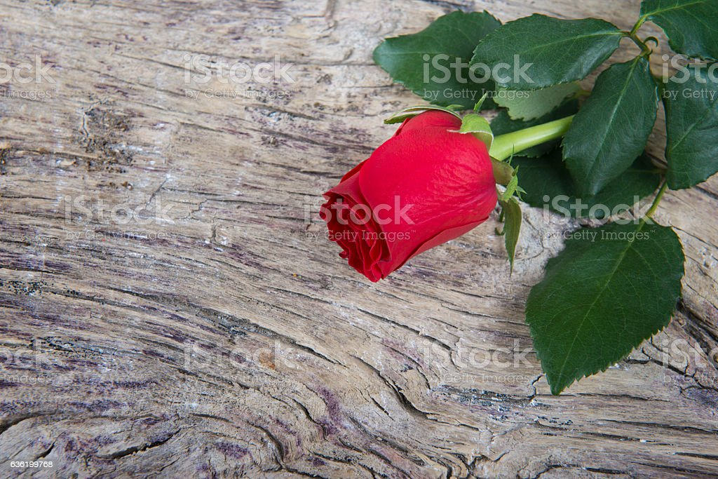 Red rose for Valentine's day stock photo