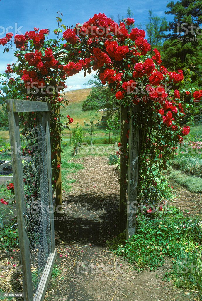 Red Rose Gate stock photo