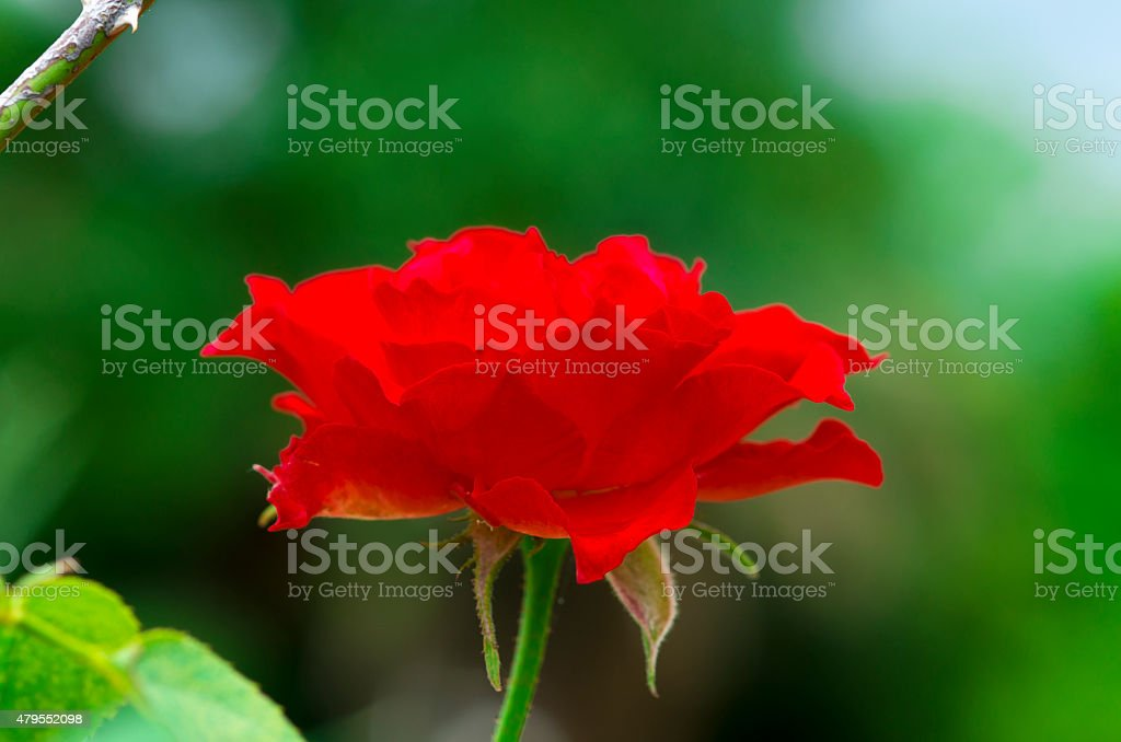 Red rose head stock photo