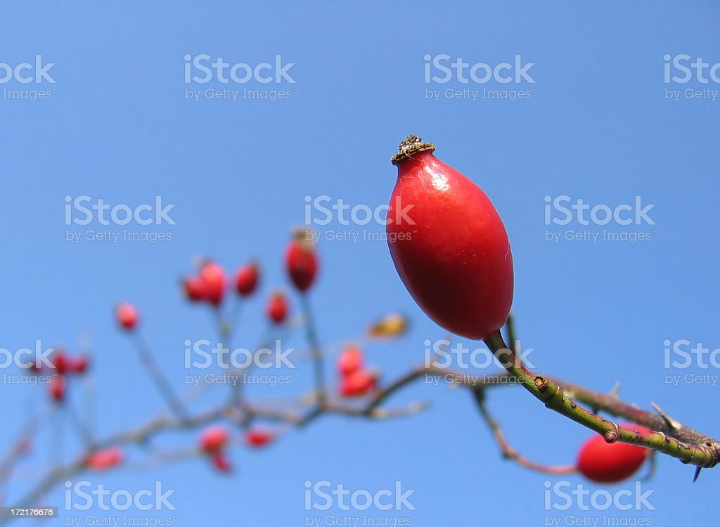 Red rose hip on blue sky stock photo
