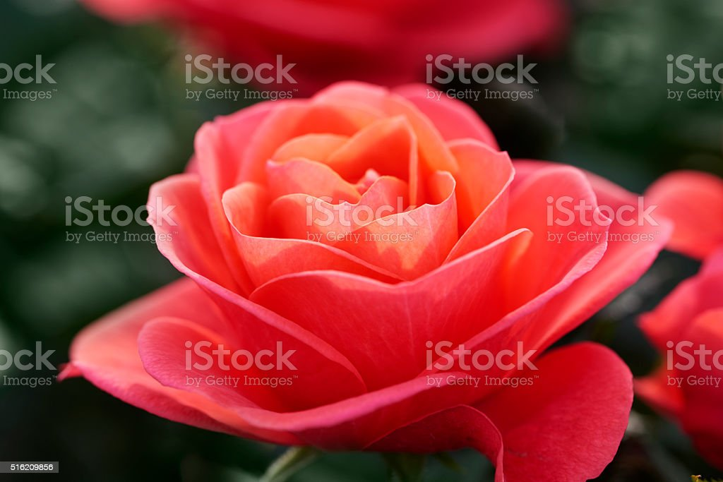 Red rose in a flowerbed stock photo