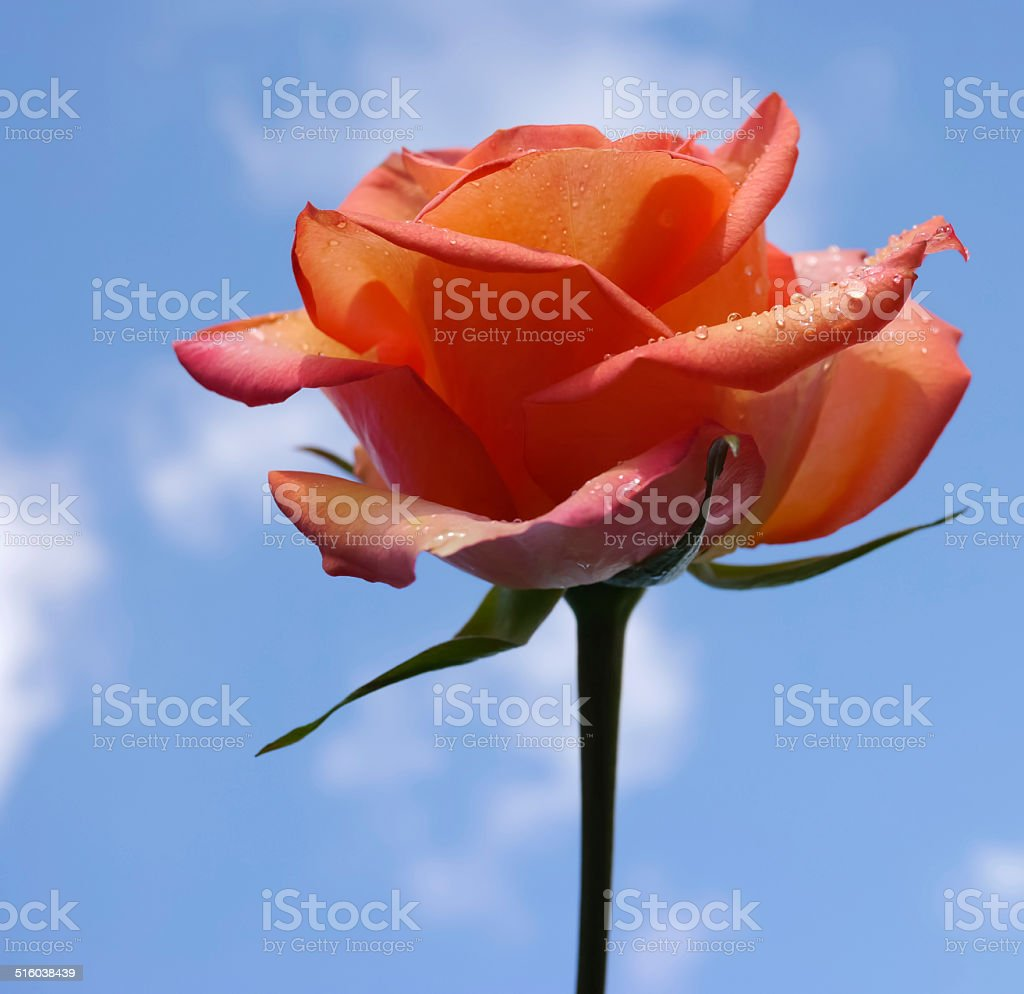 Red rose in blue sky royalty-free stock photo