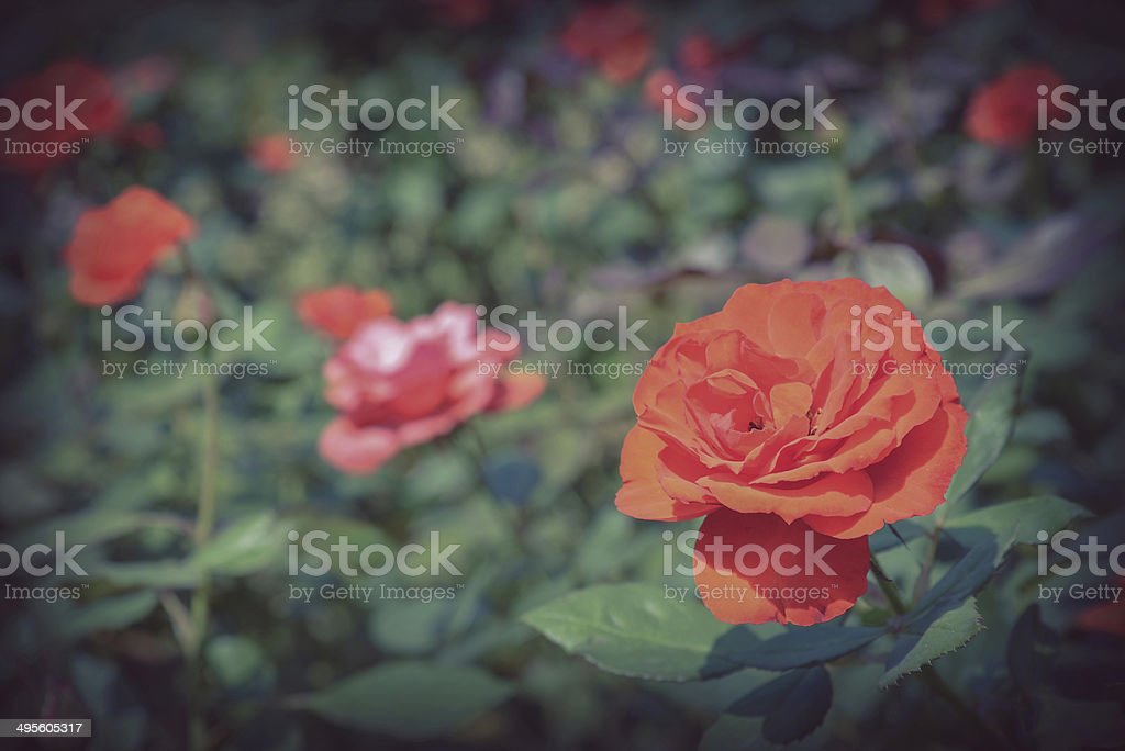 red rose in garden royalty-free stock photo
