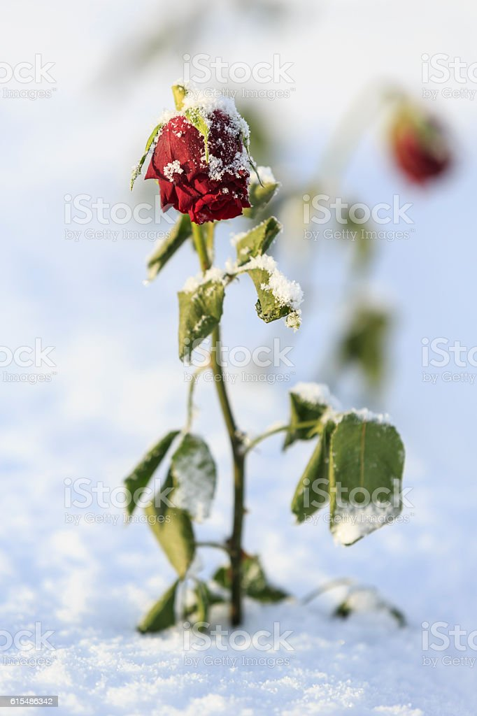 Red rose in snow stock photo