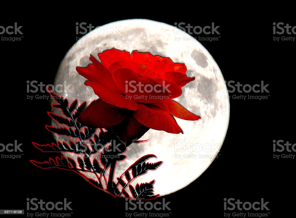 Red Rose in the full moon stock photo