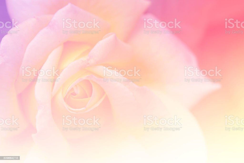 Red rose in the garden, selective focus, vintage tone, gradient stock photo