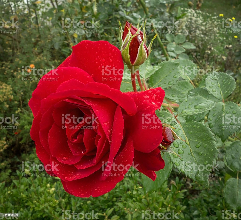 Red rose in the rain royalty-free stock photo