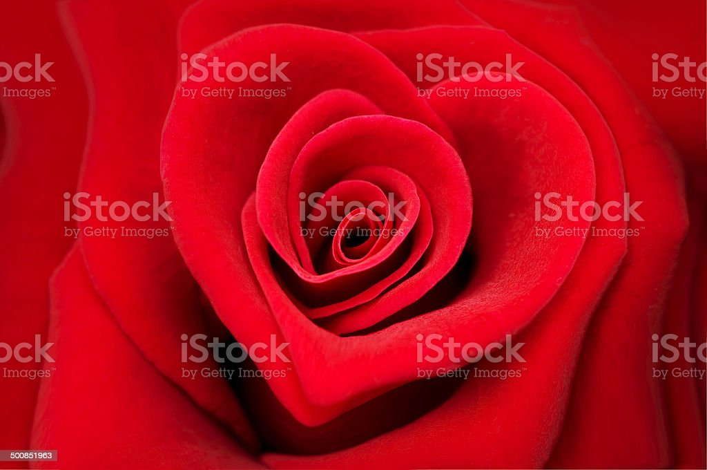 Red rose in the shape of a heart stock photo