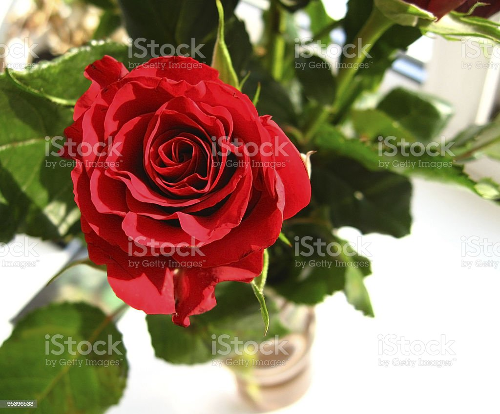 red rose in vase royalty-free stock photo