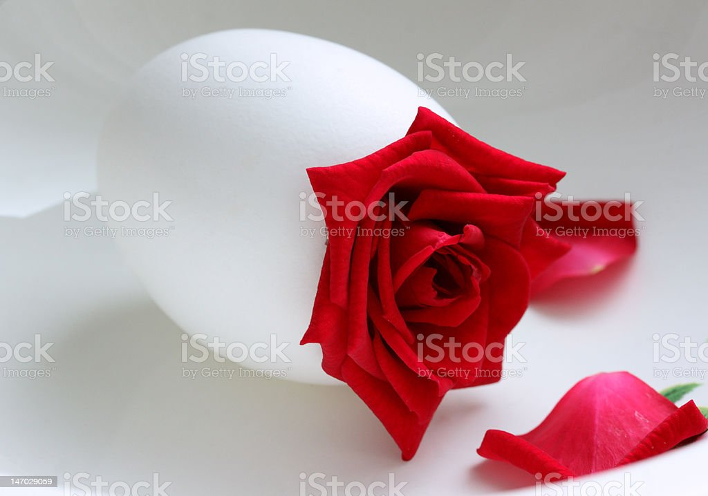 red rose is in a white egg royalty-free stock photo