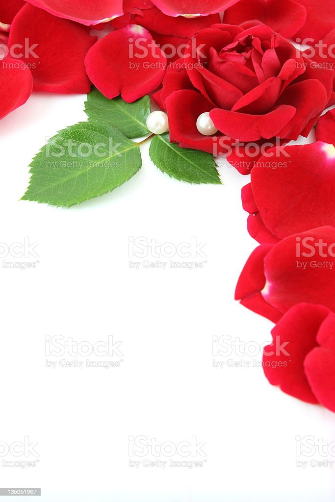 Red rose isolated on white background royalty-free stock photo