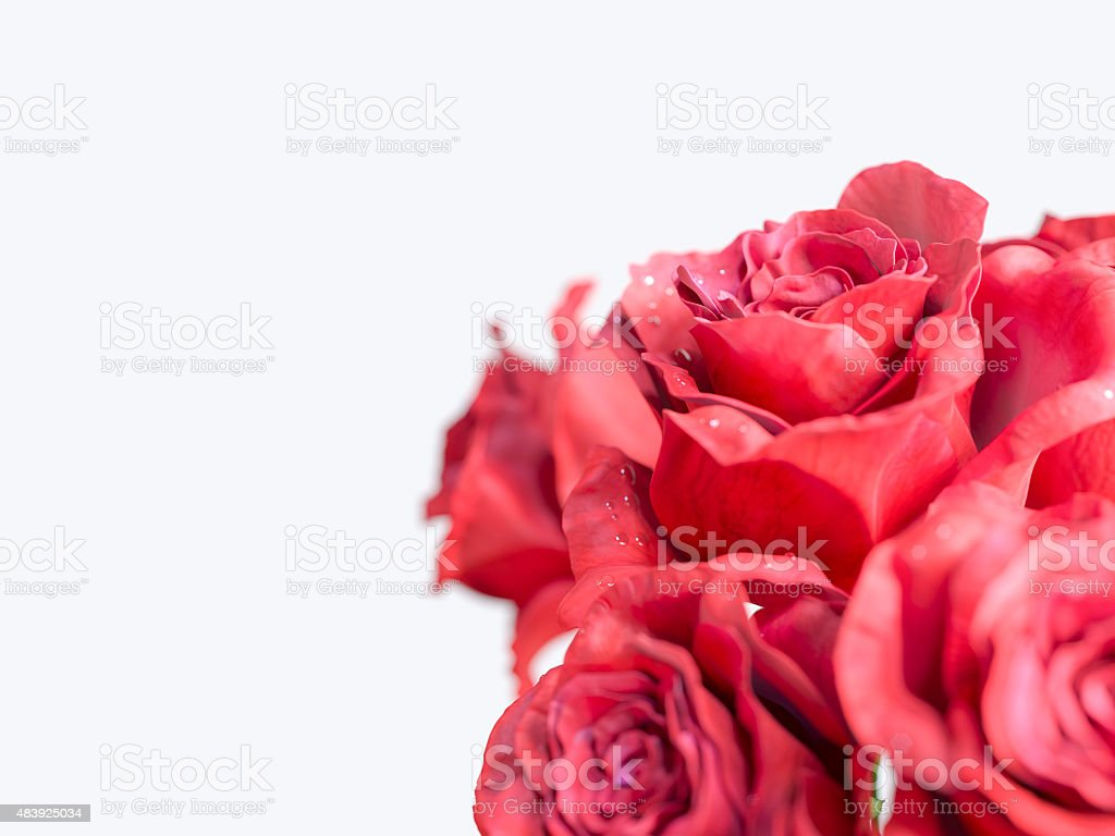 red rose isolated on white holiday background stock photo