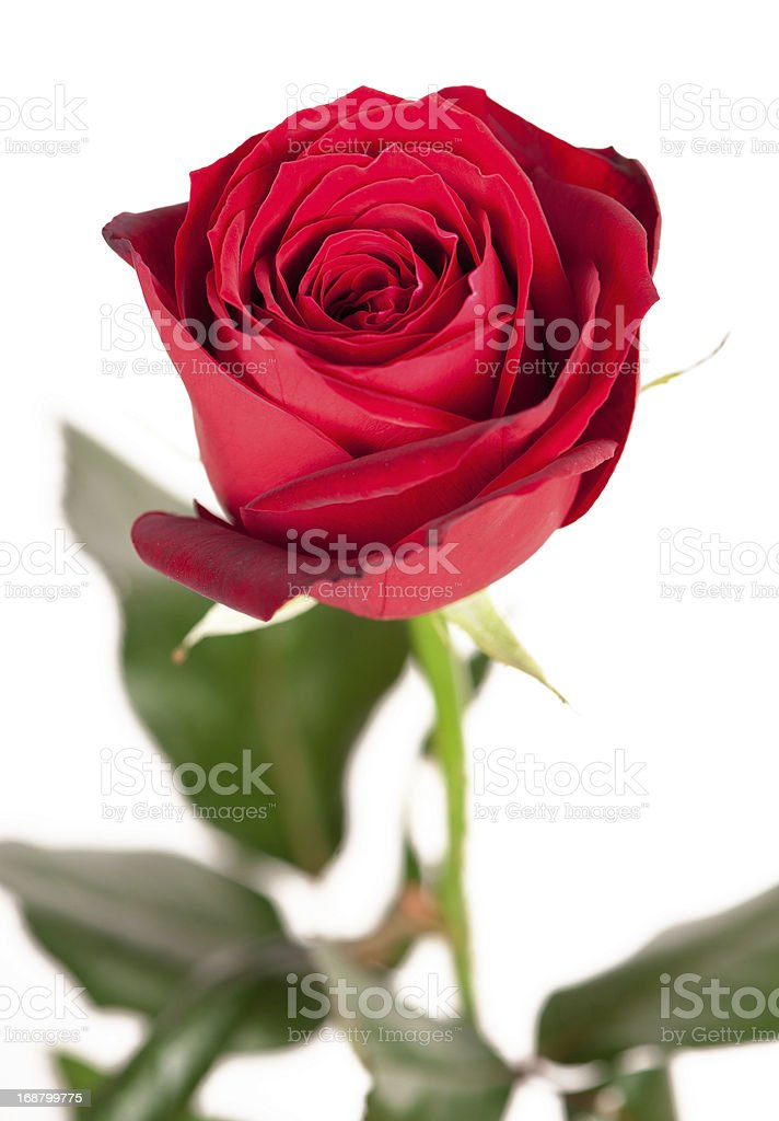 Red rose isolated on white royalty-free stock photo