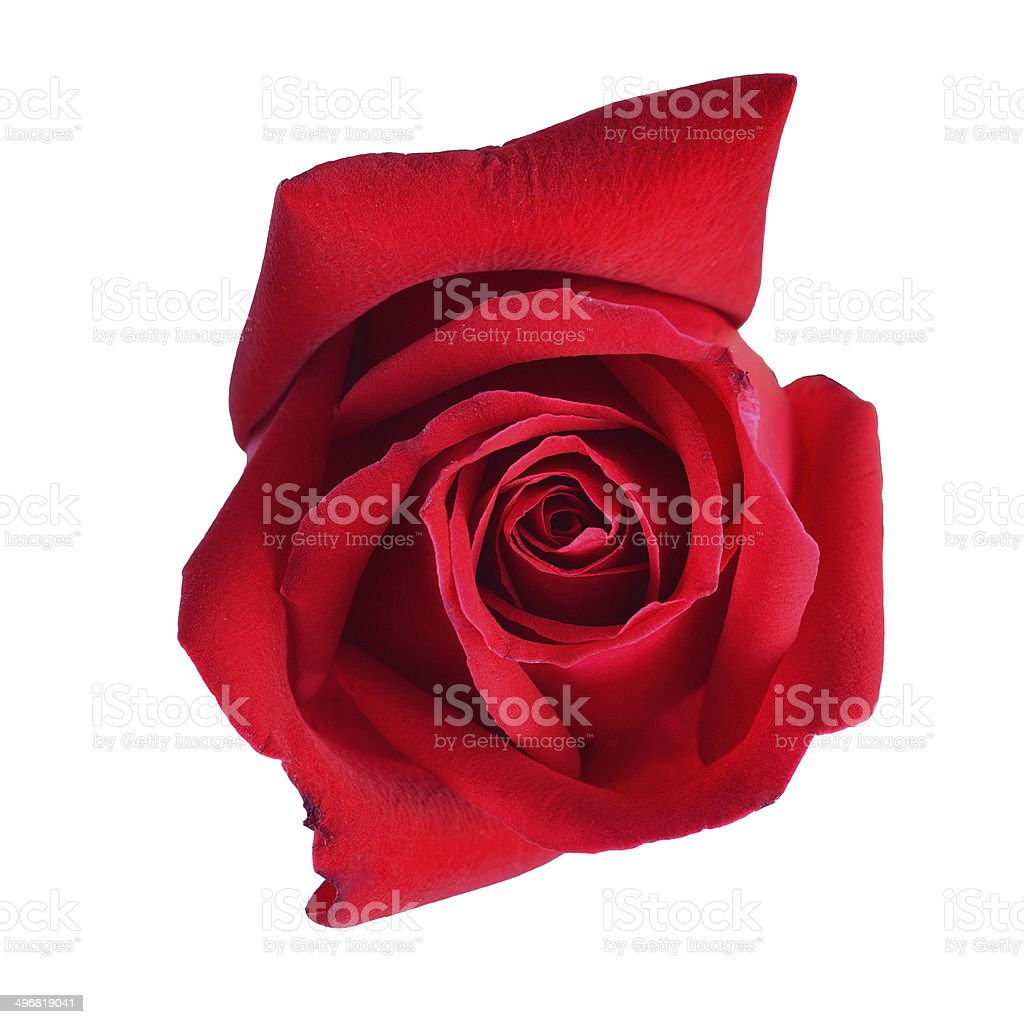 red rose isolated royalty-free stock photo