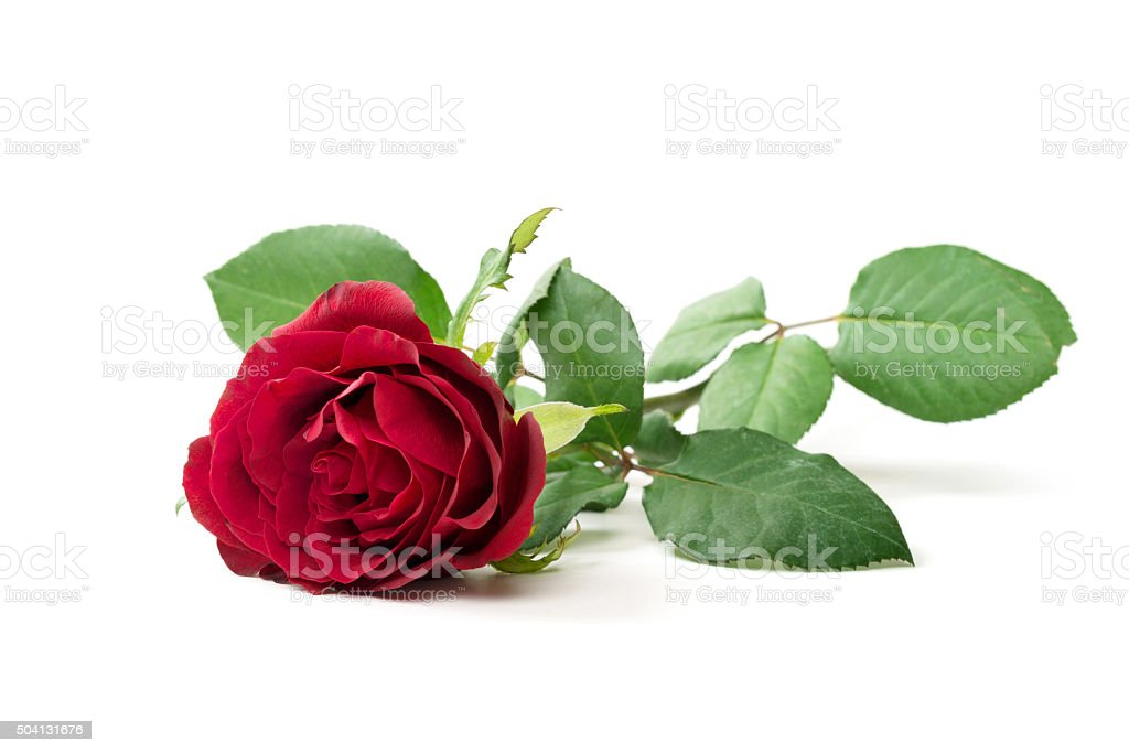 Red rose isolated stock photo
