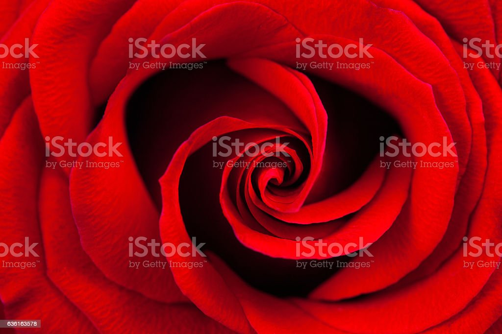 Red rose macro as a background stock photo
