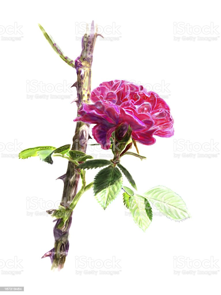 Red rose on a rosebush branch. Isolated. royalty-free stock photo