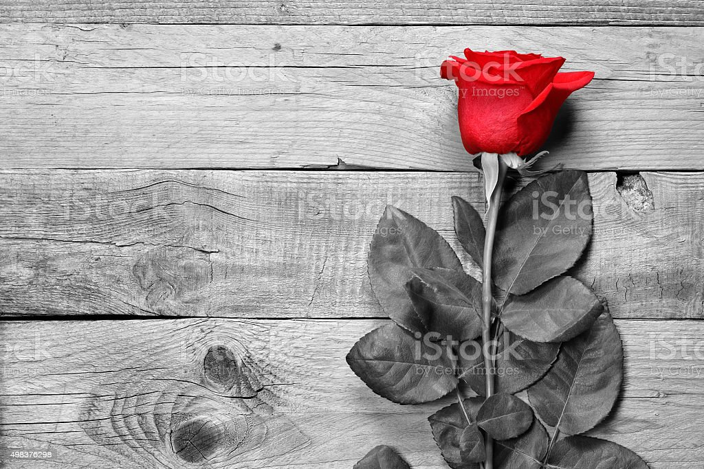 Red rose on black and white background stock photo