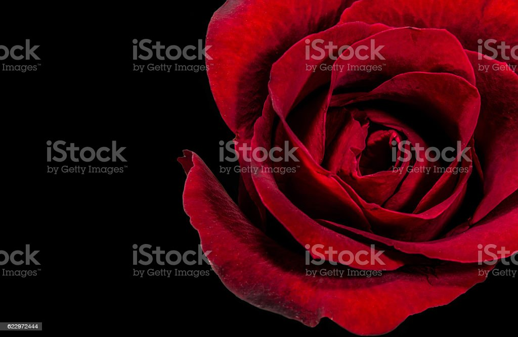 red rose on black background stock photo