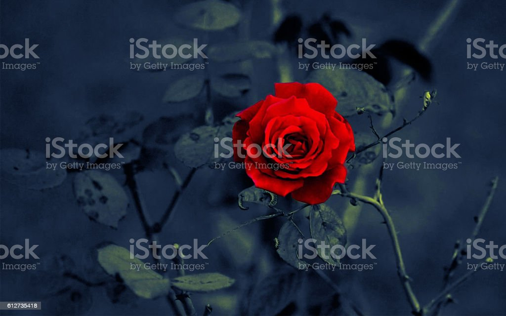 Red rose on dark background stock photo