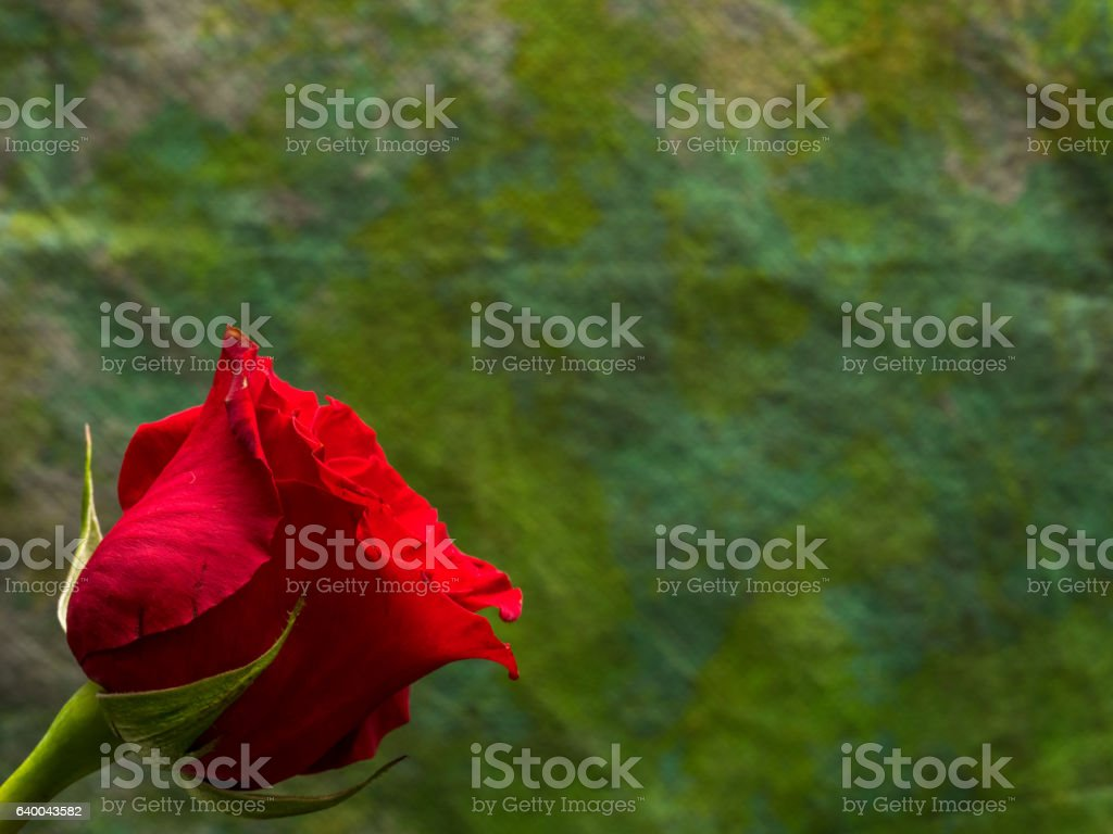 Red rose on dark green background with copy space stock photo