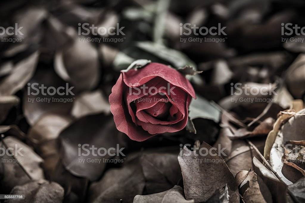 Red rose on dry leaf, Valentine day stock photo