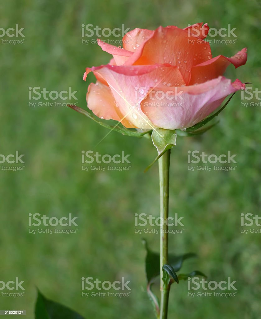 Red rose on green stock photo