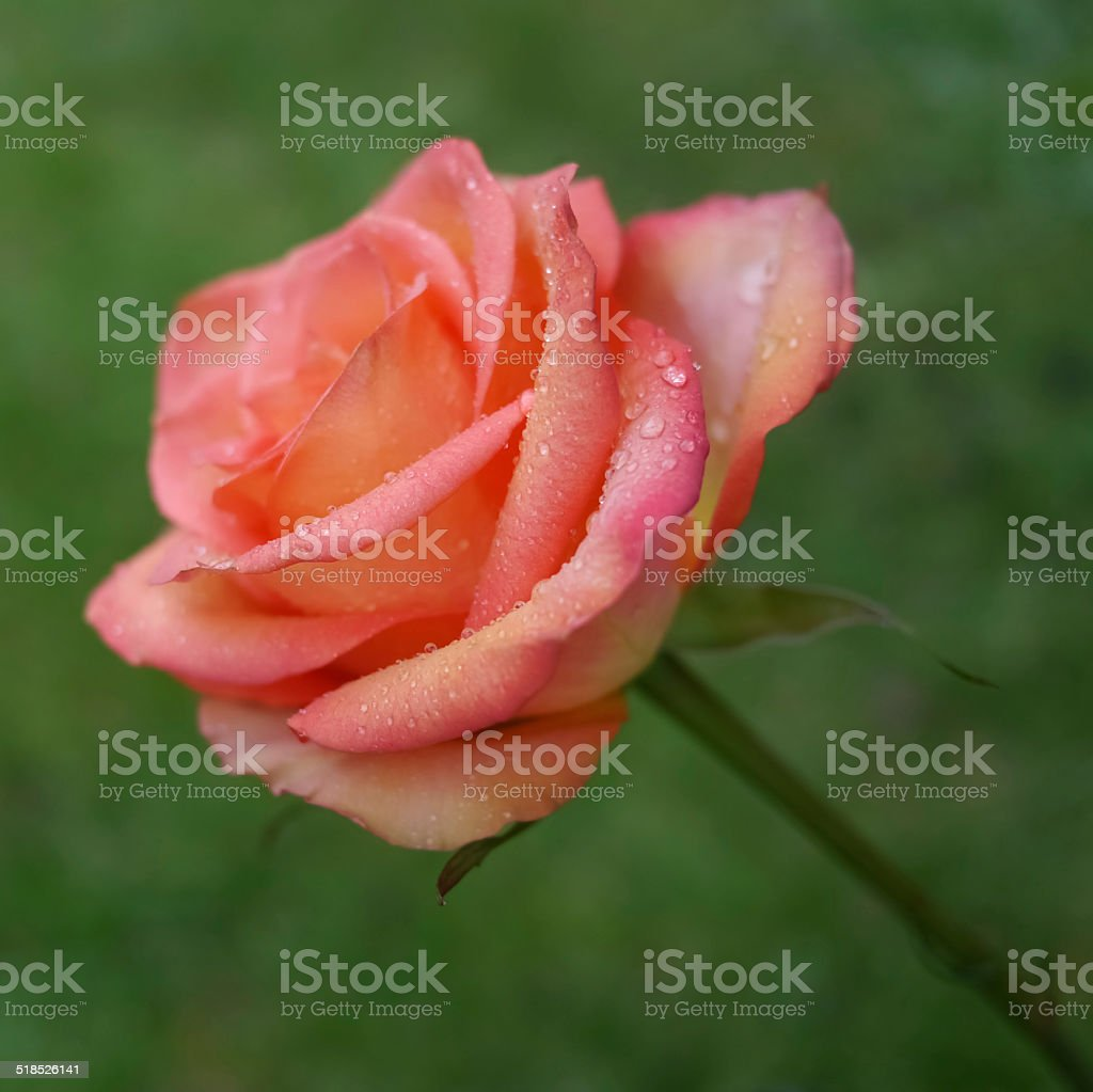 Red rose on green royalty-free stock photo