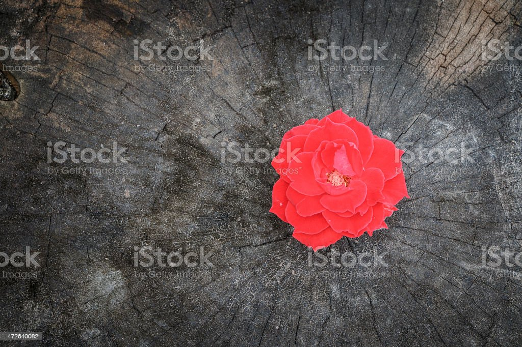 red rose on grunge stump. begin new life is beautiful. stock photo