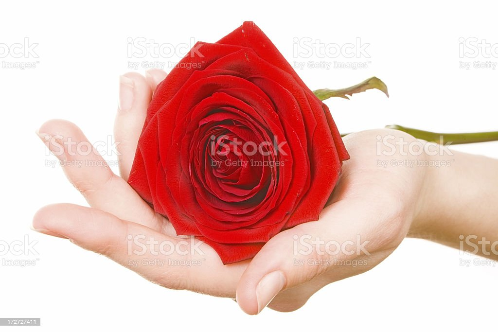 red rose on palm royalty-free stock photo