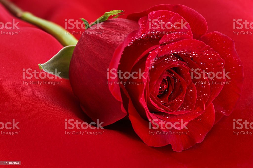 Red Rose on Satin stock photo
