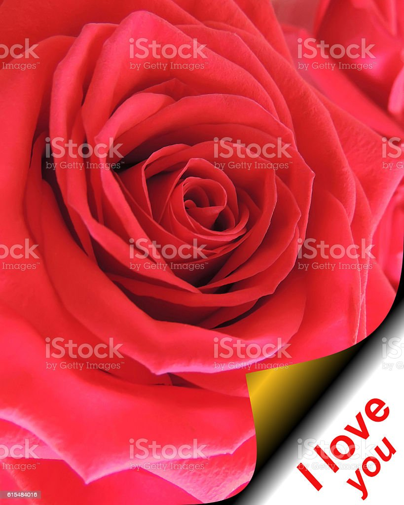 Red rose on the page curl and the text stock photo