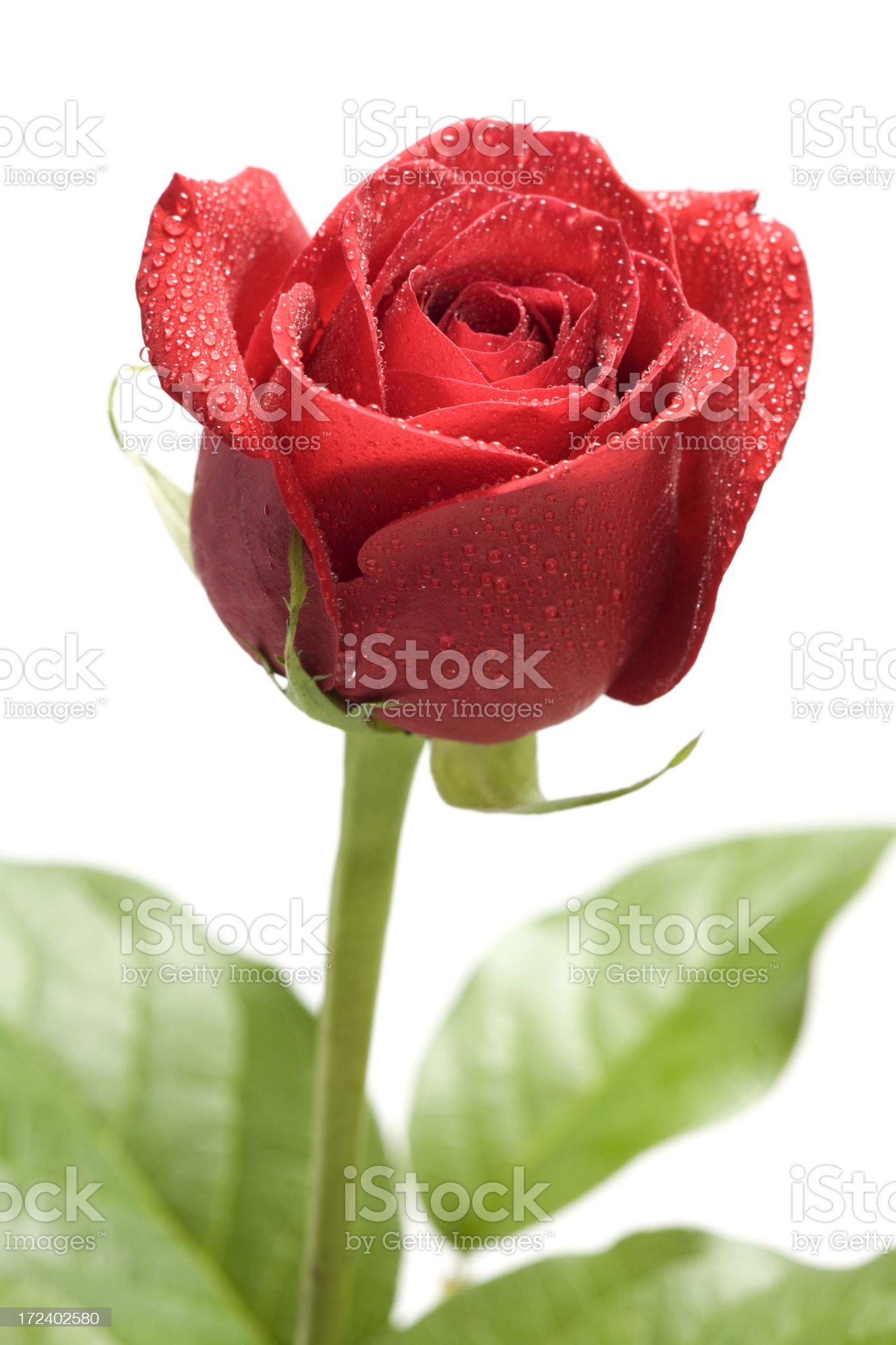 Red Rose on White Background royalty-free stock photo